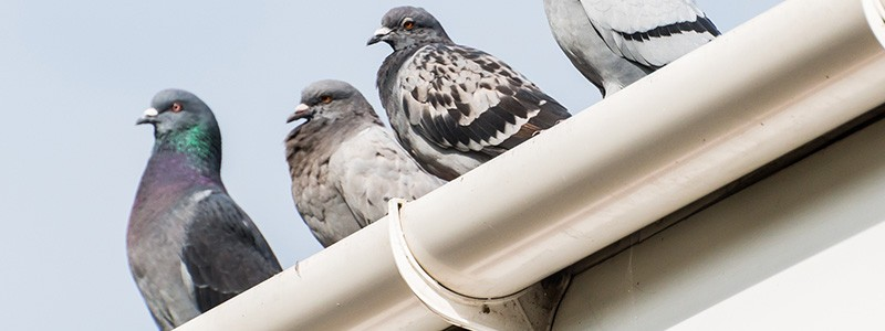 Keep your gutters clean with Ned Stevens Gutter Cleaning. Otherwise, you may find some of these unwanted visitors in your gutters!