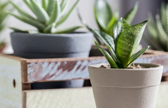Small Snake plant in front of other plants