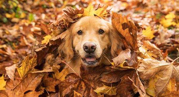golden retriever portrait view in pile of autumn leaves